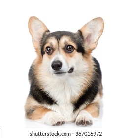 Cute Pembroke Welsh Corgi lying in front view. isolated on white background