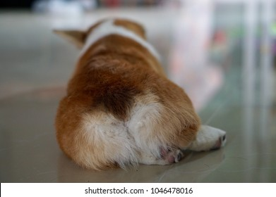Cute Pembroke Welsh Corgi puppy lying down on white floor,Cute Corgi dog butt,heart shape