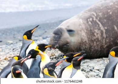 Cute penguins, seals, sea lions and elephant seals are lounging together in Antarctica