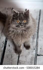 Cute Persian Cat