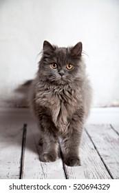 Cute Persian Cat Looking