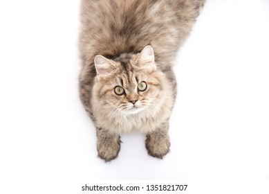 Cute persian cat looking up on white background isolated