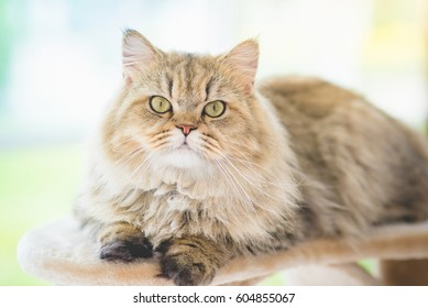 Cute persian cat lying on cat tower and looking at camera