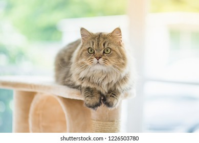 Cute Persian cat sitting on cat tower