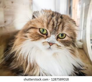 Cute Persian cat staring at the camera