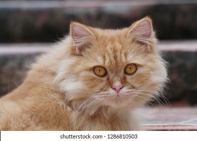 Royalty Free Turkish Angora Kitten Images Stock Photos Vectors
