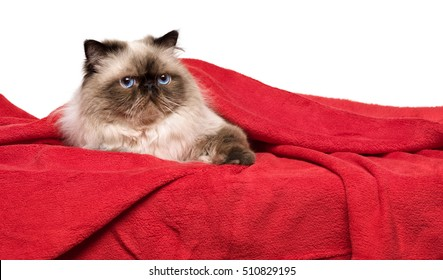 Cute persian colourpoint cat is lying on a soft red blanket, isolated on white background