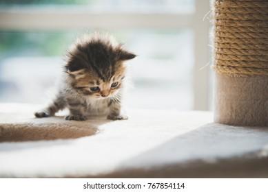 Cute persian kitten sitting on cat tower