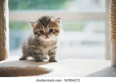 Cute persisches Kätzchen auf Katzenturm