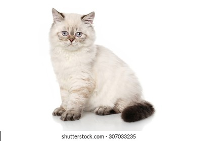 Cute Persian shorthair cat sits in front of white background