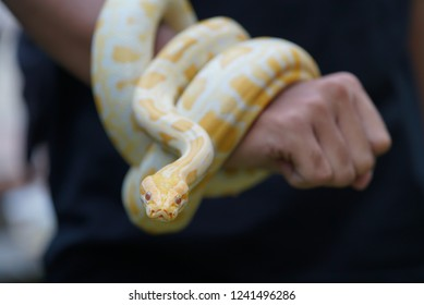 Cute Pet Albino Snake Stock Photo Edit Now 1241496286