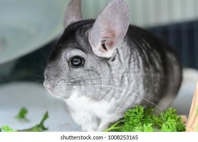 cute pet chinchilla
