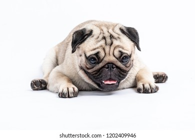 Cute pet dog pug breed lying and smile with happiness feeling so funny and making serious face isolated on white background,Healthy Purebred Dog Concept