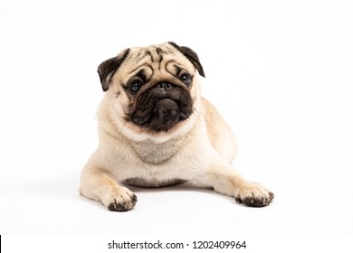 Cute pet dog pug breed lying and smile so funny and making serious and angry face isolated on white background