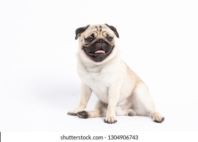 Cute pet dog pug breed sitting and smile with happiness feeling so funny and making serious face,ฺBeautiful Purebred dog and healthy dog,Isolated on white background,Dog friendly Concept