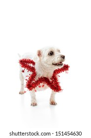 Cute pet dog wearing a red tinsel star around the neck.  Looking up with space for your message.  White background.