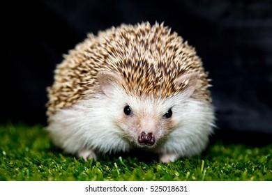 Cute pet hedgehog