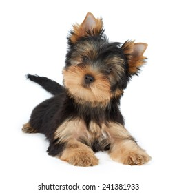 Cute pet isolated on white. Puppy of the Yorkshire Terrier.