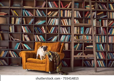 Cute pet pug dog on the chair in library. Books shelves. Cozy home interior