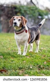 Cute Pet Puppy Beagle Outside