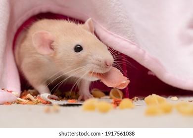 Cute pet rat holding her treats