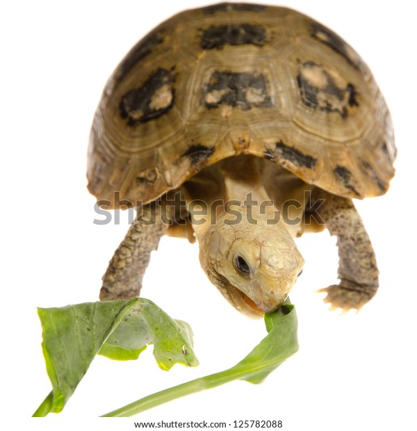 Cute Pet Turtle Tortoise Isolated Stock Photo Edit Now 125782088