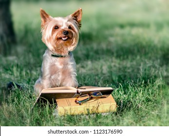 Cute pet Yorkshire terrier sitting outside on green grass next to an open book and glasses. Dog reading reading in park at sunny day. Education and training. Copy-space left