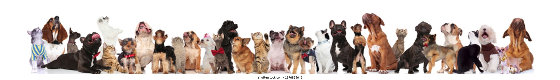 cute pets with bowties and collars look up while standing and sitting on white background