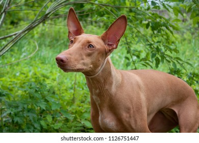 Cute pharaoh hound close up. Hunting dog.