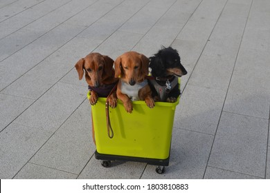 Cute photo of three Weiner dogs lined up in a bucket on a walk. Funny picture of the dachshund siblings.
