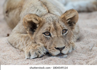 A Cute photograph of lion cubs seen in South Africa
