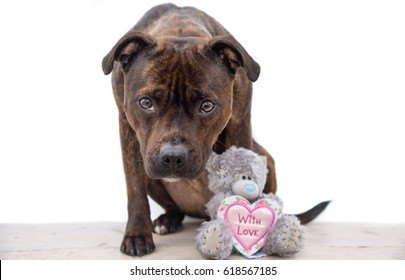 Cute picture from a English Staffordshire Bull Terrier and her teddybear on white. The brindle dog loves studio shots. With Love.