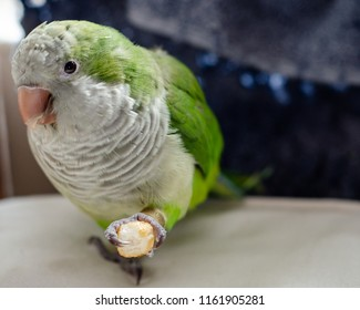 Cute picture of a Quaker parrot holding a cracker in his foot