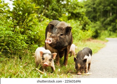cute pig with piglets on countryside road.