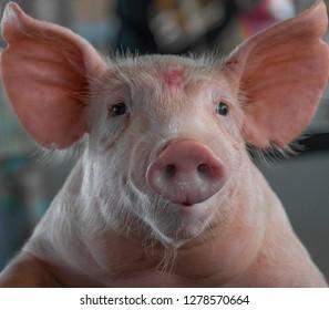 Cute pig posing