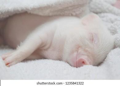 cute pig sleeps under a white blanket. light white background