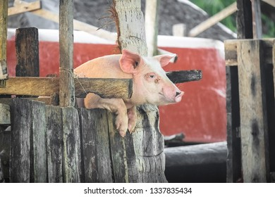 Cute Pig Smiling and Trying to Escape from Pen in Filipino Village - Siargao, Philippines