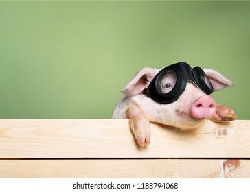 Cute piglet animal in aviator glasses hanging