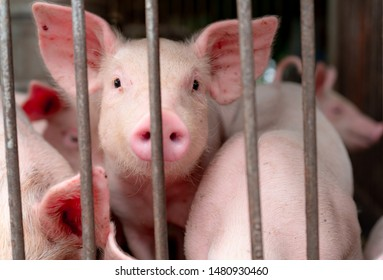 Cute piglet in farm. Happy and healthy small pig. Livestock farming. Meat industry. Animal meat market. African swine fever and swine flu concept. Swine breeding. Mammal animal. Pink piglet in pigsty.