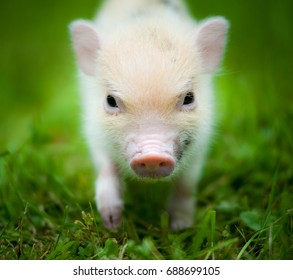 cute piglet of mini pig portrait