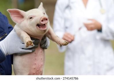 Cute piglet portrait in workers hands, veterinarian in background