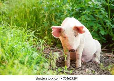 Cute piglet walking on grass in spring time. Pigs grazing at  meadow under.  Organic agriculture natural background.  Free range farm.