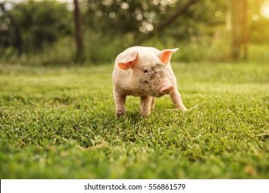 Cute piglet in the yard, running around.