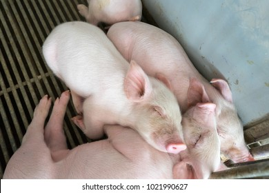 Cute piglets are sleeping together.