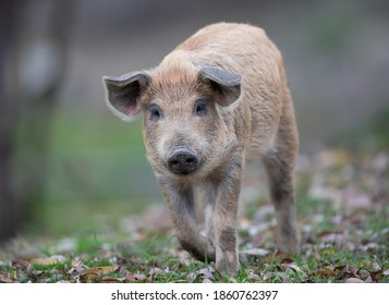 Cute piglets from traditional pig breed mangalitsa walking on grassland in forest in autumn time. Organic meat production