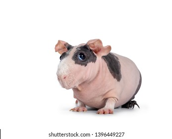 Cute pink with black spotted skinny pig, sitting / standing side ways. Head up. Looking at lens with big eyes and floppy ears. Isolated on white background. White hair on nose and front legs.