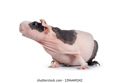 Cute pink with black spotted skinny pig, sitting / standing side ways. Looking up with big eyes and floppy ears. Isolated on white background. White hair on nose and front legs. Mouth slightly open.