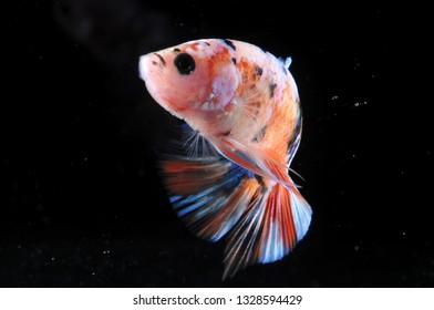 cute pink color betta fish plakat