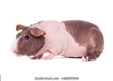 Cute pink skinny pig, standing side ways. Isolated on white background. White hair on nose.