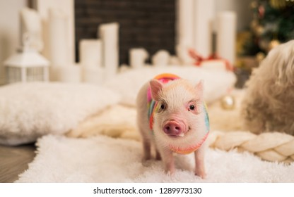 Cute pinky mini pig dressed in special clothing stands on the white fluffy carpet